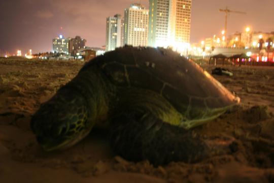 turtle in tel aviv